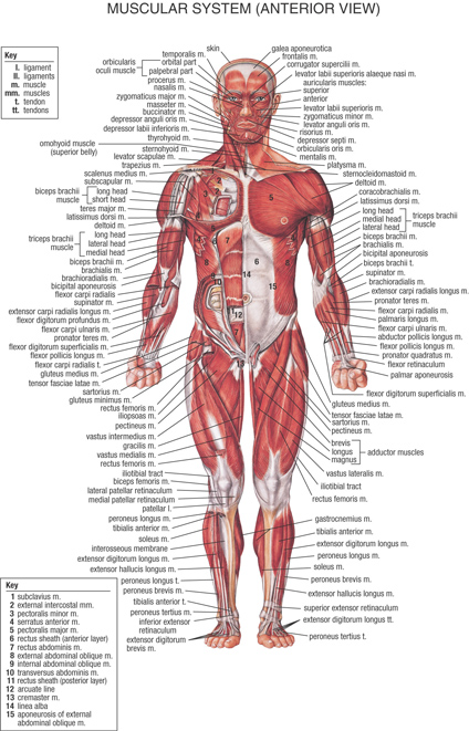 human body anatomical chart muscular system poster,